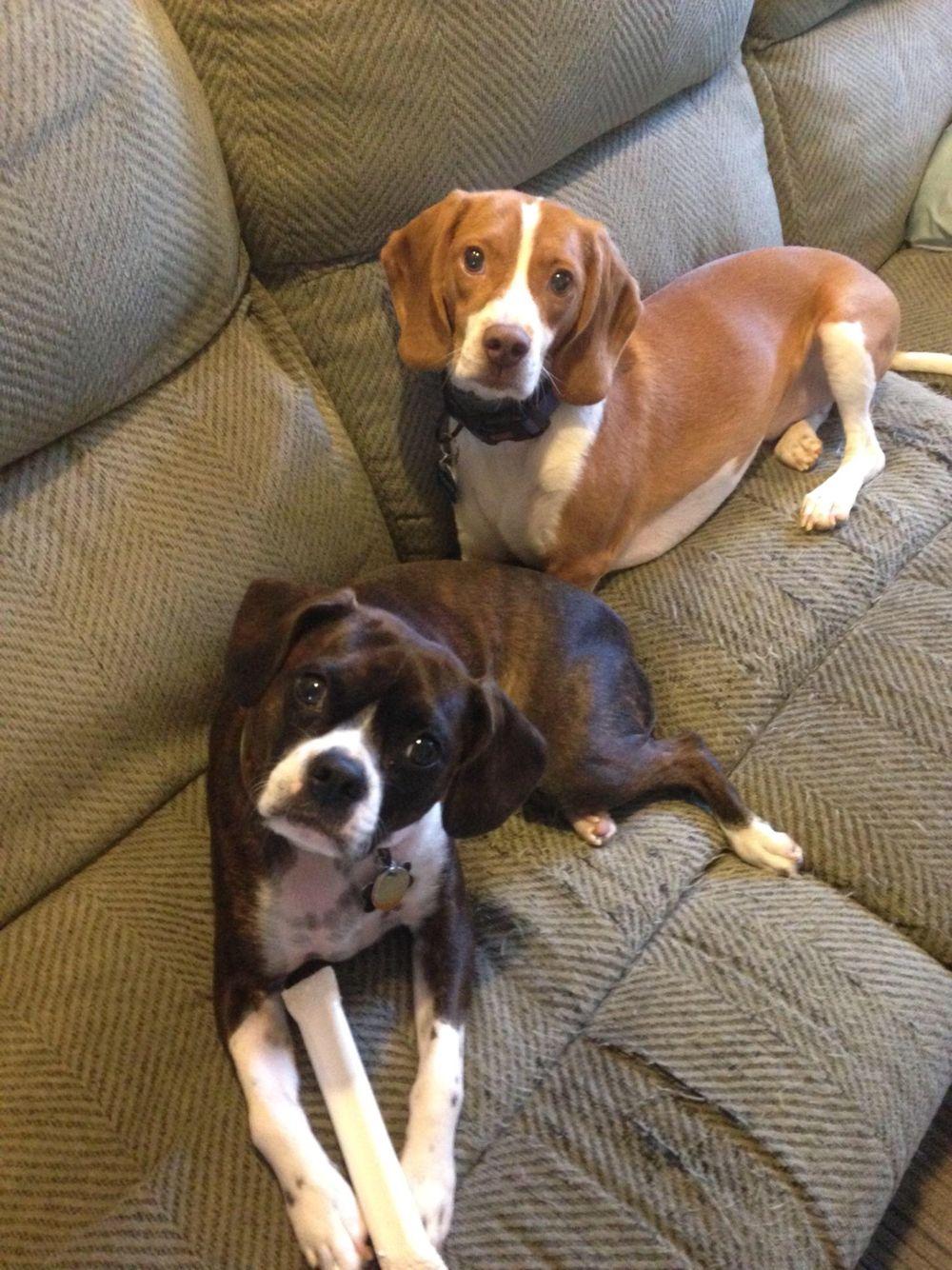 Lester And Tucker Bostonterrierandcavalierkingcharlesmix Full