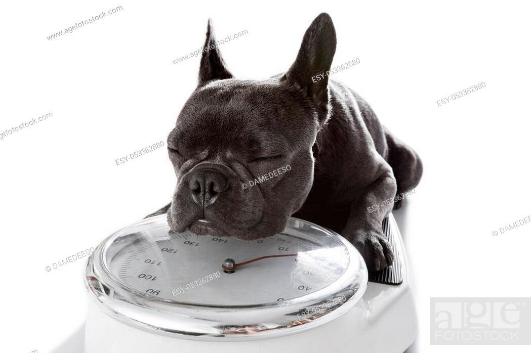 63 French Bulldog Size And Weight In 2020 French Bulldog Blue French Bulldog Puppies Your Dog