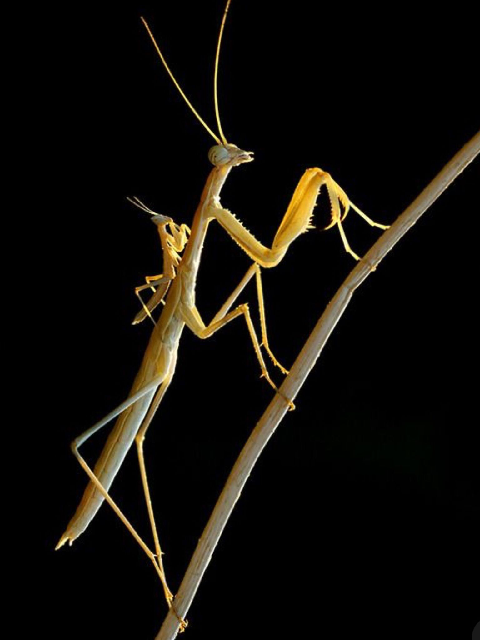 Pin By Darla Baker On Animals 2 Insects Praying Mantis Bugs And Insects