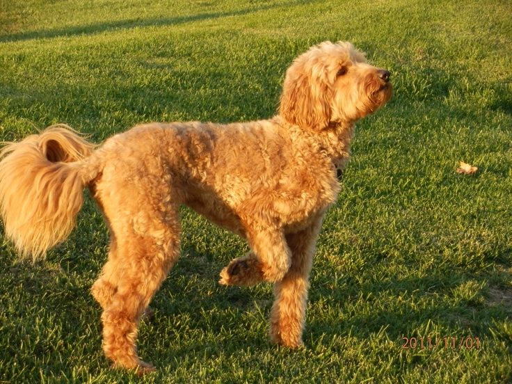 Image result for australian labradoodle grooming summer