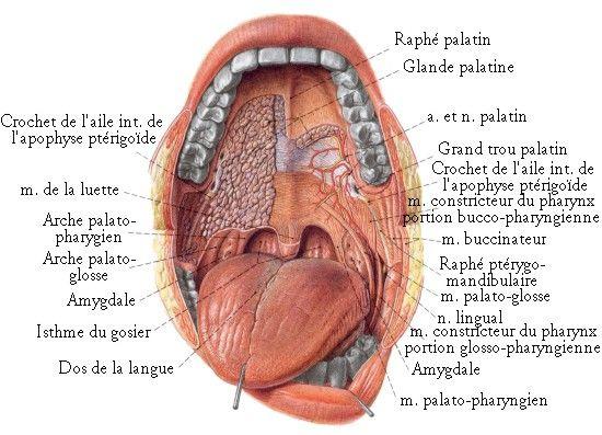 vue de l 39 int rieur de la bouche os et muscles de la