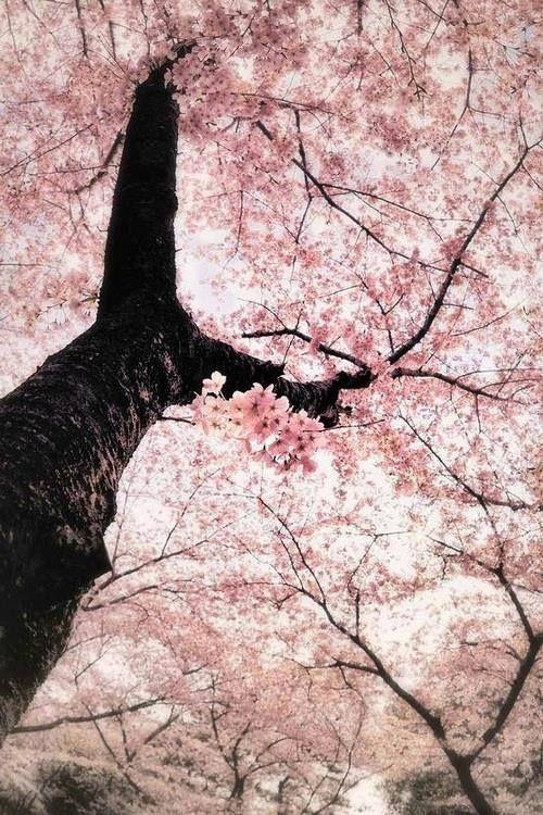 Sakuras Tree