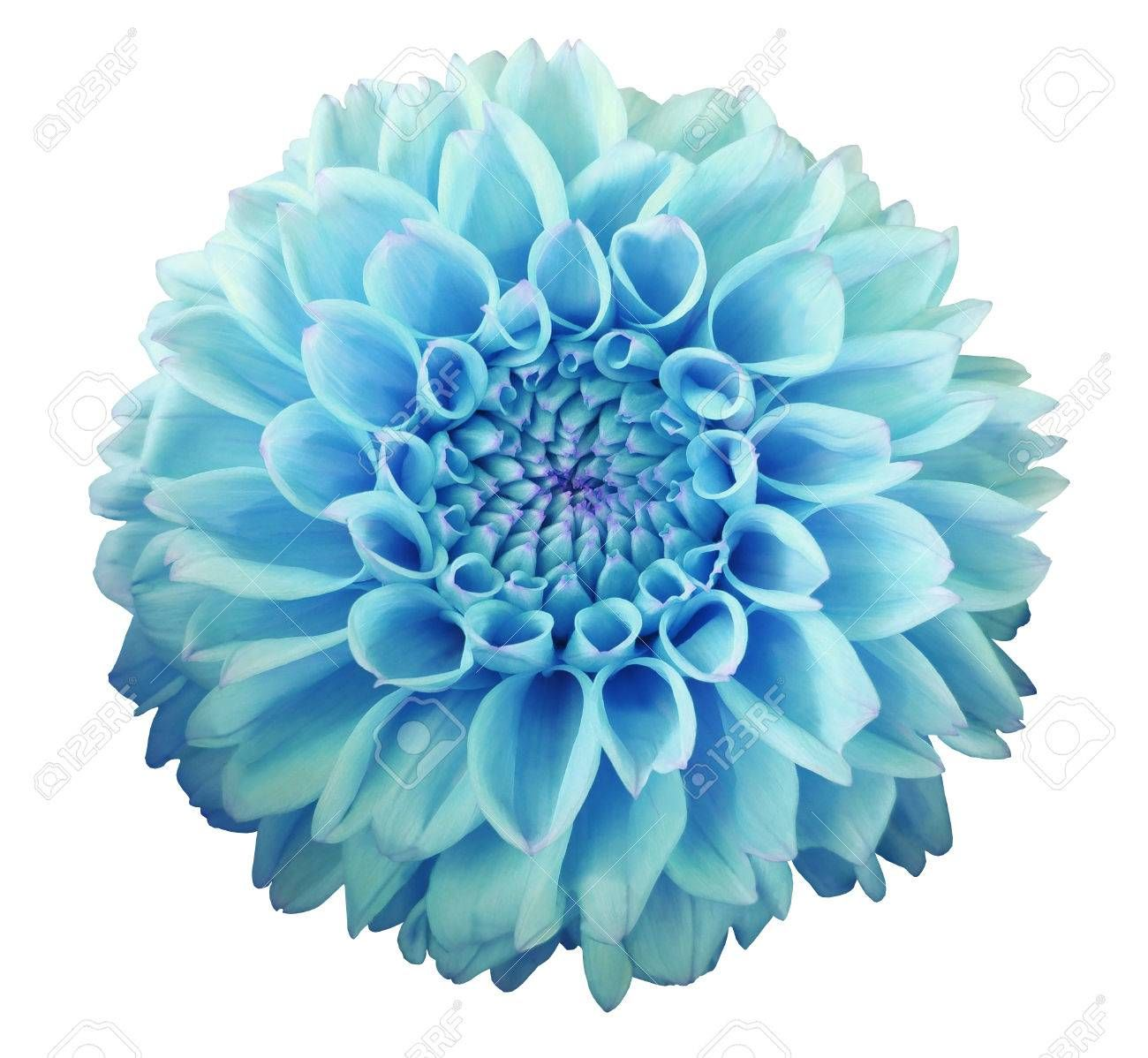 Blue Dahlia Flower White Background Isolated With Clipping Path Closeup For Design Nature Dahlia Flower Blue Dahlia Dahlia