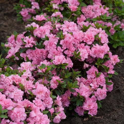 BloomAThon® Pink Double Reblooming Azalea Rhododendron x