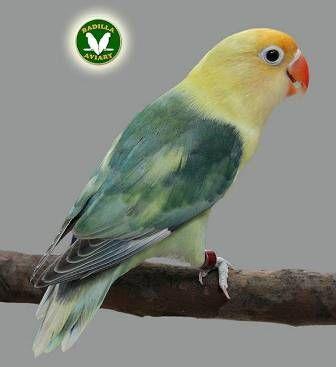 Agapornis Fischeri Fischers Lovebirds Love Birds Cute Baby Animals Pet Birds