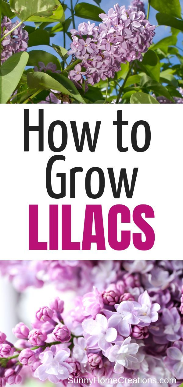 How to Grow Beautiful Lilacs Easily is part of Flowering bushes, Lilac gardening, Lilac plant, Planting flowers, Lilac bushes, Lilac tree - Awesome tips about how to grow lilacs from where to place them in your yard to pruning and transplanting these beautiful flowering shrubs