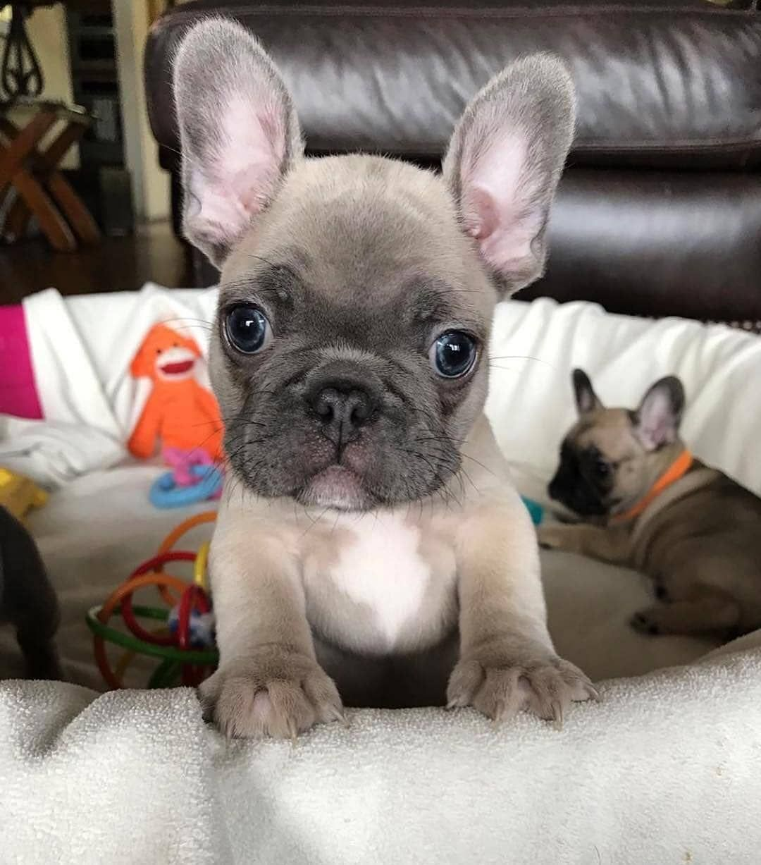 French Bulldog Puppies Frenchie Kisses French Bulldog Puppies