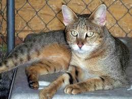 Junglecat - Google-Suche