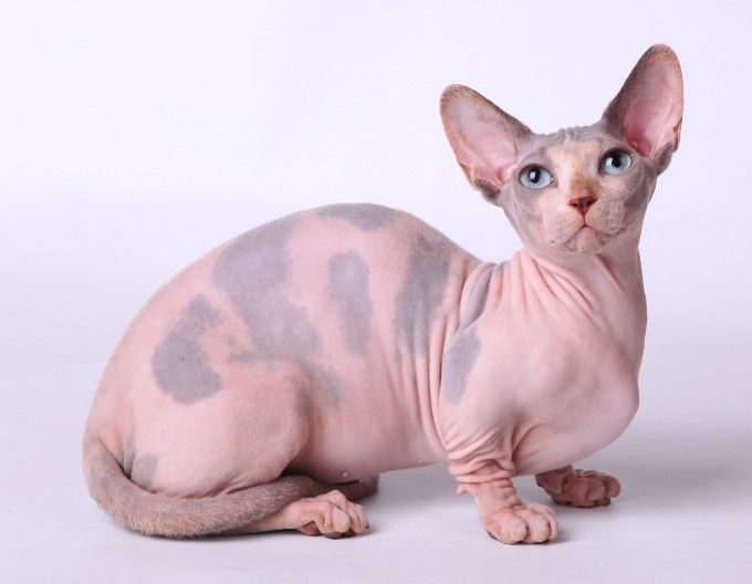 Cg 23 Bambino Cat Origin United States Crossbreed Sphynx