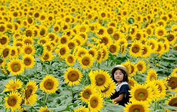 A girl on her father's shoulders looks through a maze of sunflowers growing in a field during a three-day sunflow... pic.twitter.com/WY5mUY8I6o
