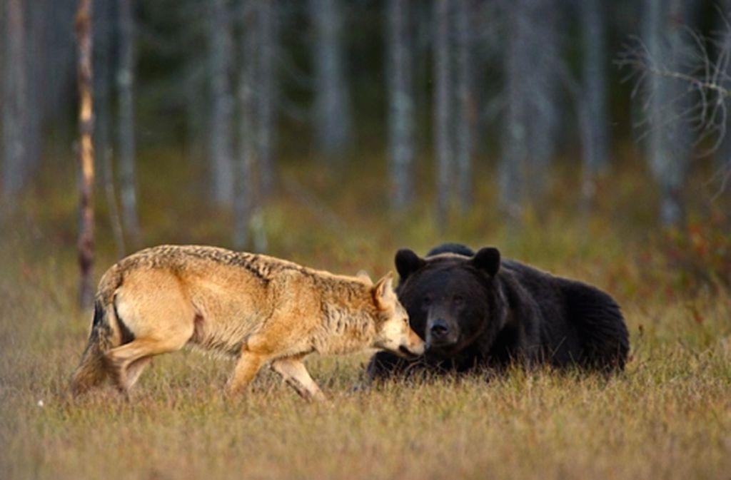 Oso Y Loba2 Jpg 1024 673 Oso Pardo Animales Raros Lobo Gris