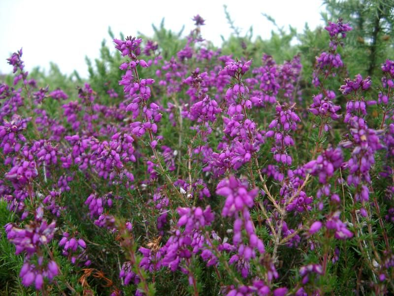 Flowering Bush Of Magenta Heath Flowering Bushes Scent Garden Flowers