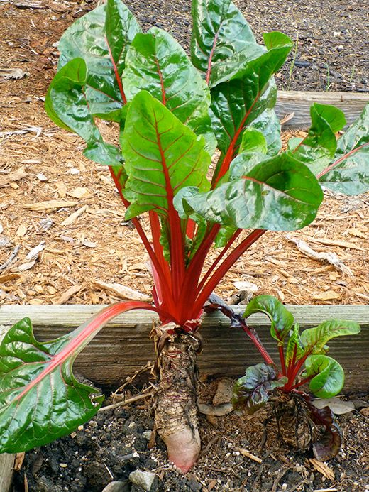 Is Chard Root Edible Edible Garden Plants Planting Vegetables