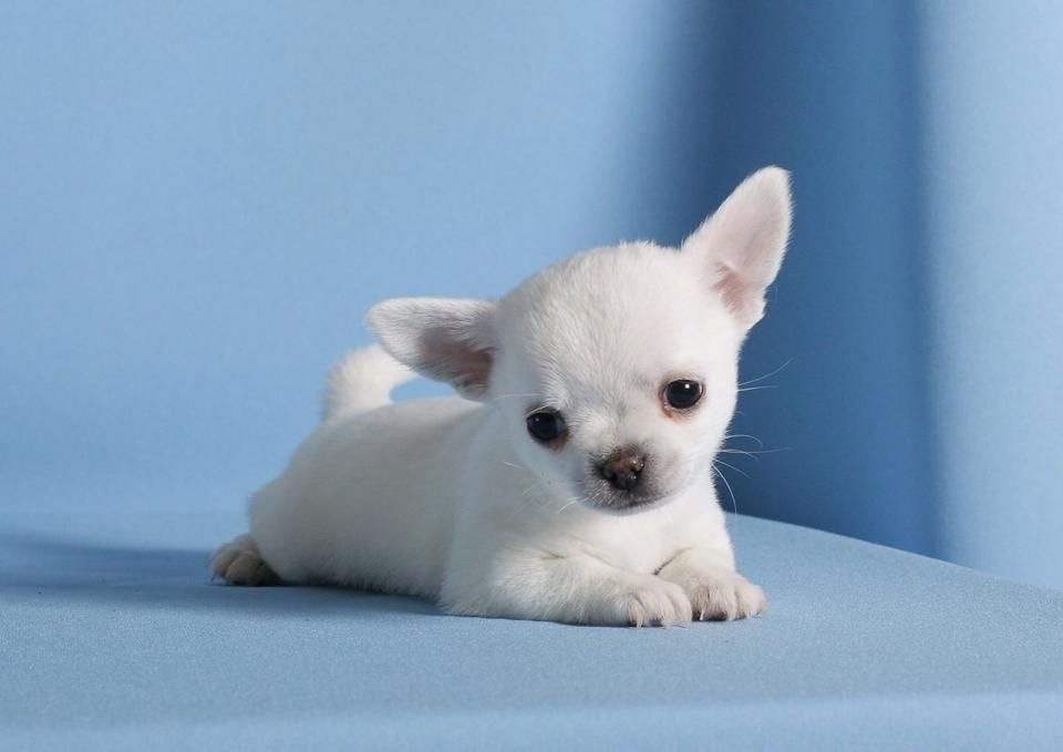 Chihuahua Puppy My Heart Explodes Chihuahua Welpen Tiere Lustige Tiere