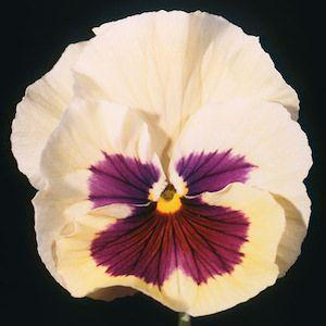 Acquarelle Gelato Vanilla Pansy Pansies Flowers Flower Seeds Annual Flowers