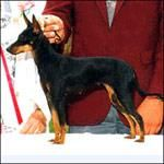 ** Manchester Terrier - Standard 17-18 lbs. Does not like to be left alone with nothing to do, should be protected from the cold.easy to train with patience and persistence. If not obedience trained, this terrier can become stubborn and have a problem with dominance.