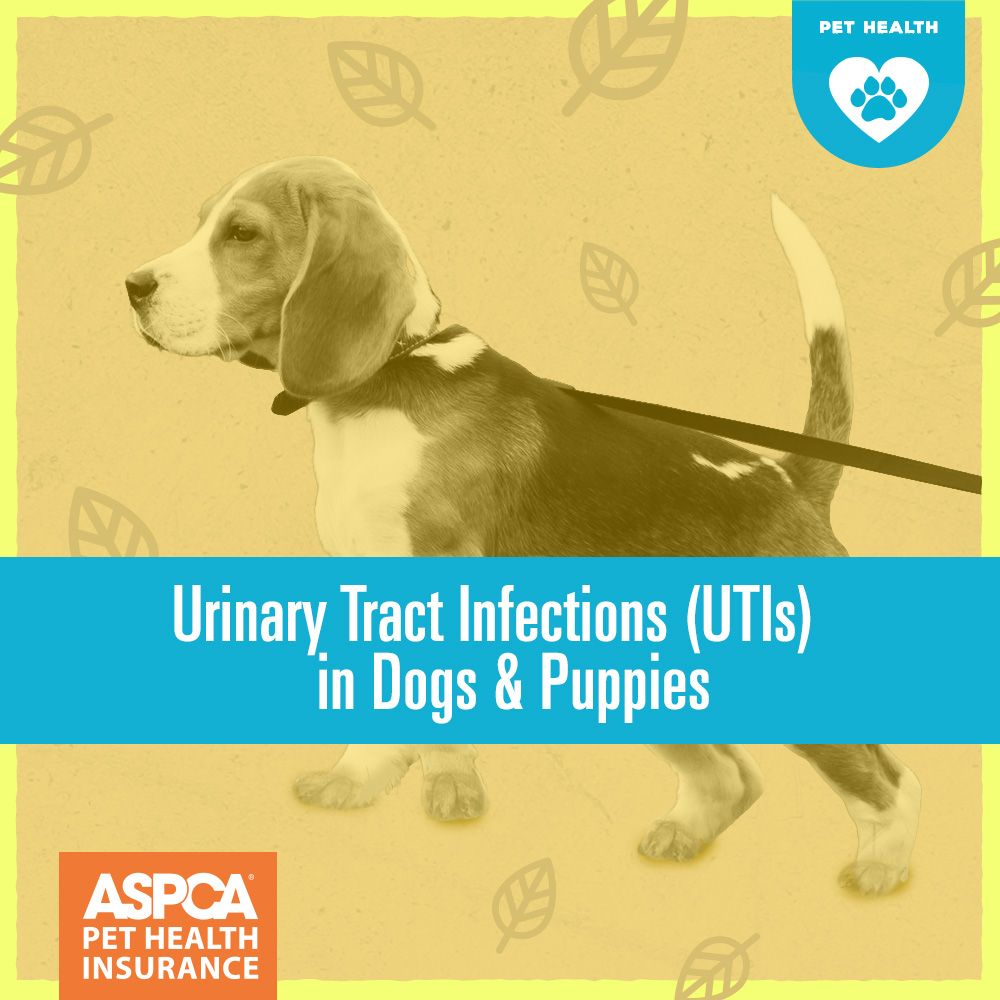Urinary Tract Infections Utis In Dogs Puppies Bladder Infection In Dogs House Training Dogs Puppies House Training Dogs