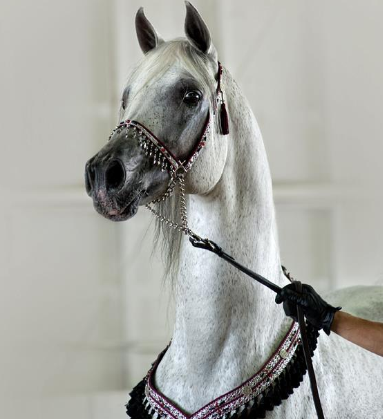 from Mamoun Arabians Morocco Stables