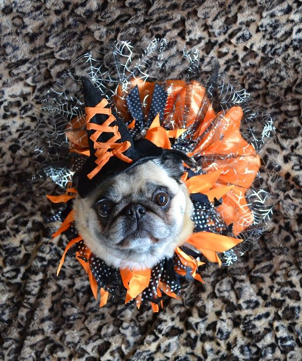 Our Bailey Puggins The Pug Witch Pug Pugcostume Pughalloween