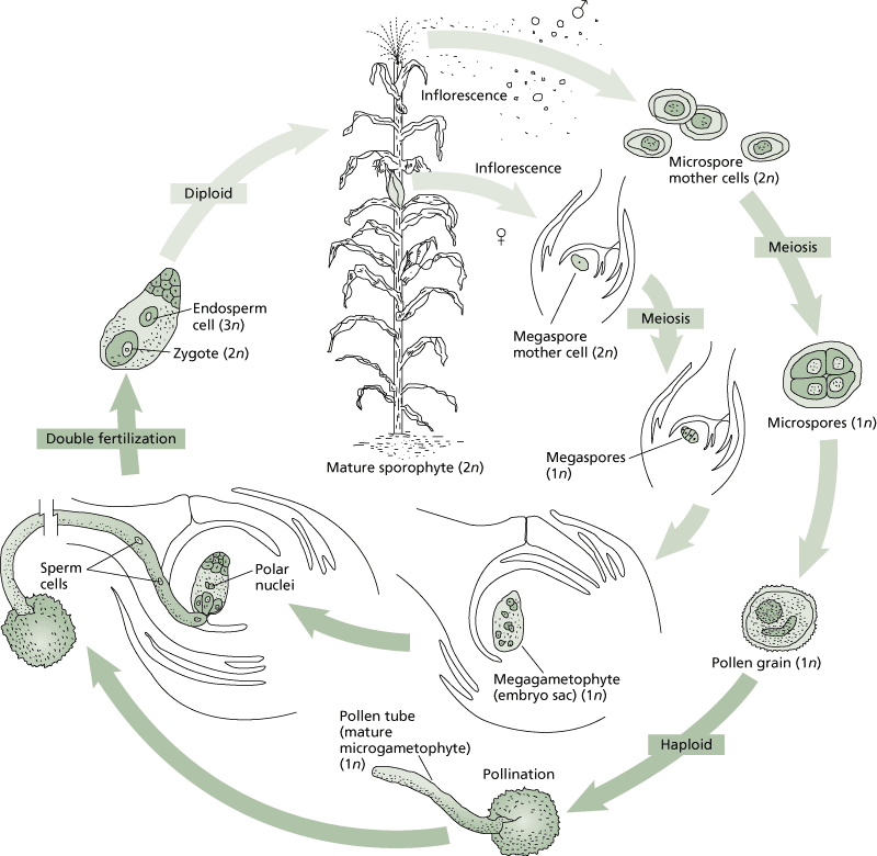 Diagram Of Seed Growth
