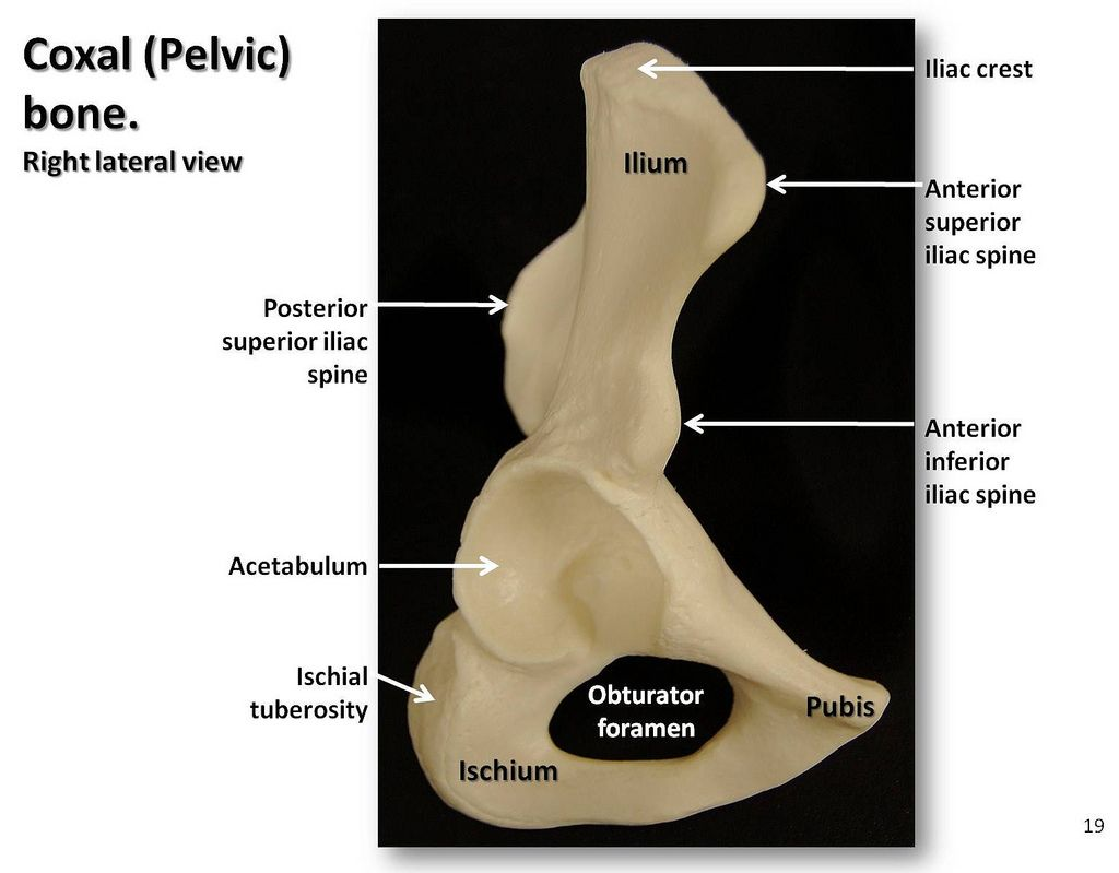 Coxal (Pelvic) bone, lateral view with labels - Appendicular ...