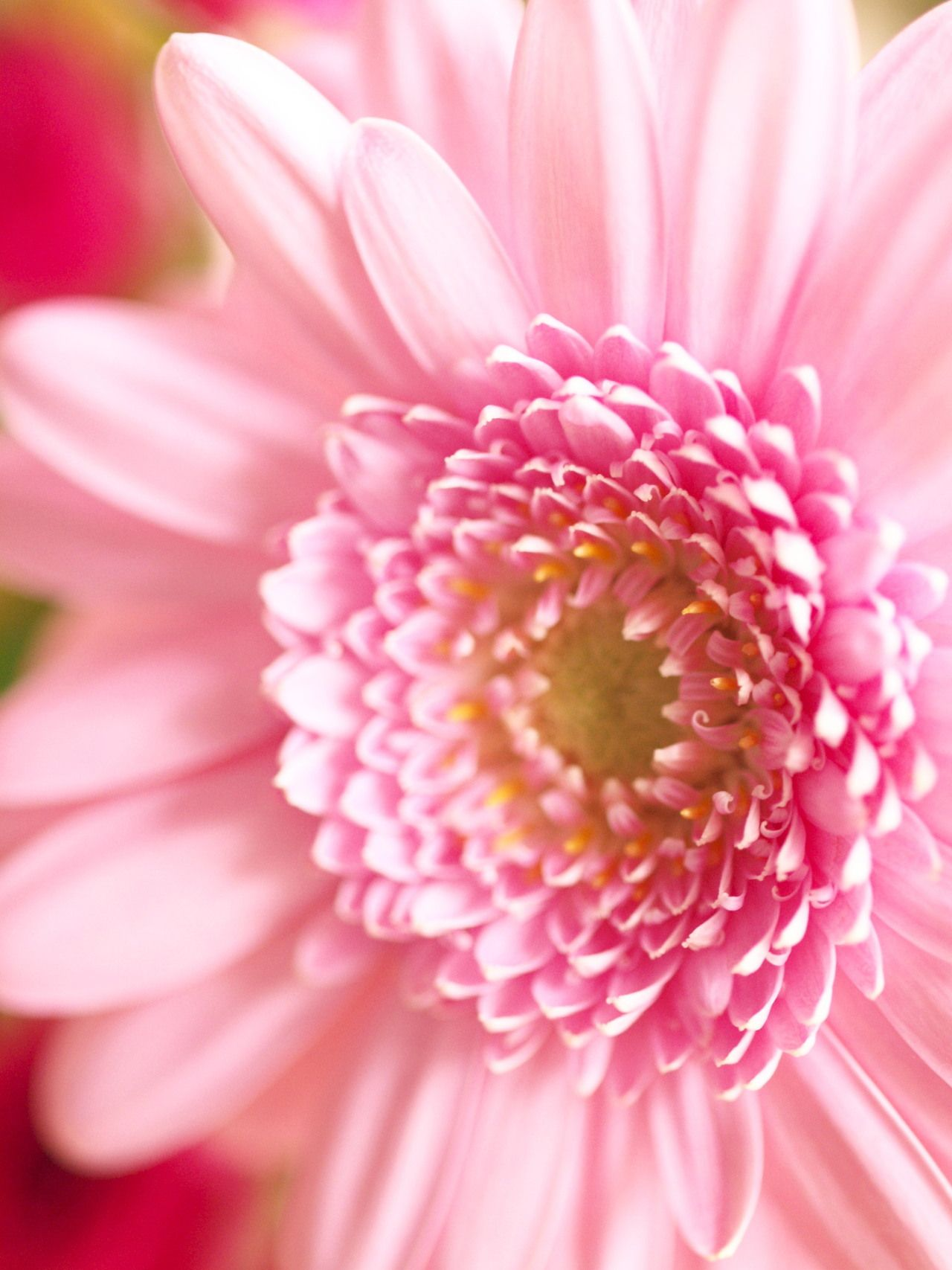 This looks like pink perfection to me i love it blossoms the gerbera plant with its large daisy like flowers comes from the sunflower family and is the fifth most used cut flower izmirmasajfo Image collections