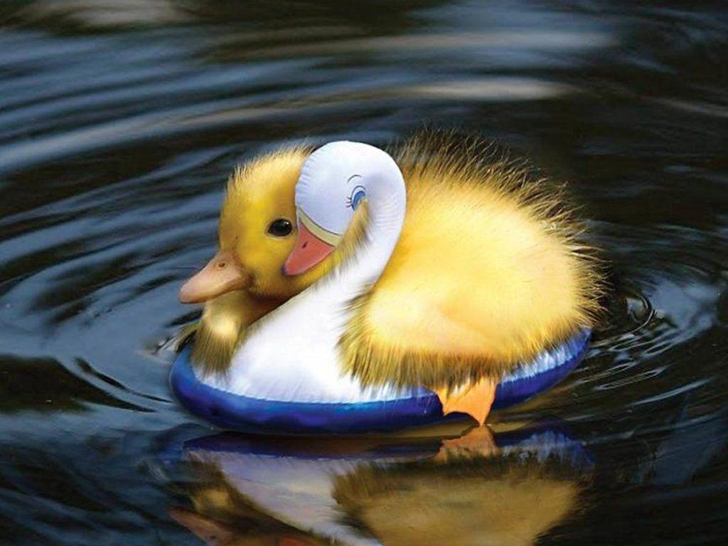 Dreamies De 5597f359t7m Jpg Mit Bildern Tiere Baby Ente Susse Tiere