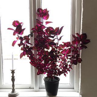 coleus hybridus green pinterest pflanzen zimmerpflanzen und garten. Black Bedroom Furniture Sets. Home Design Ideas