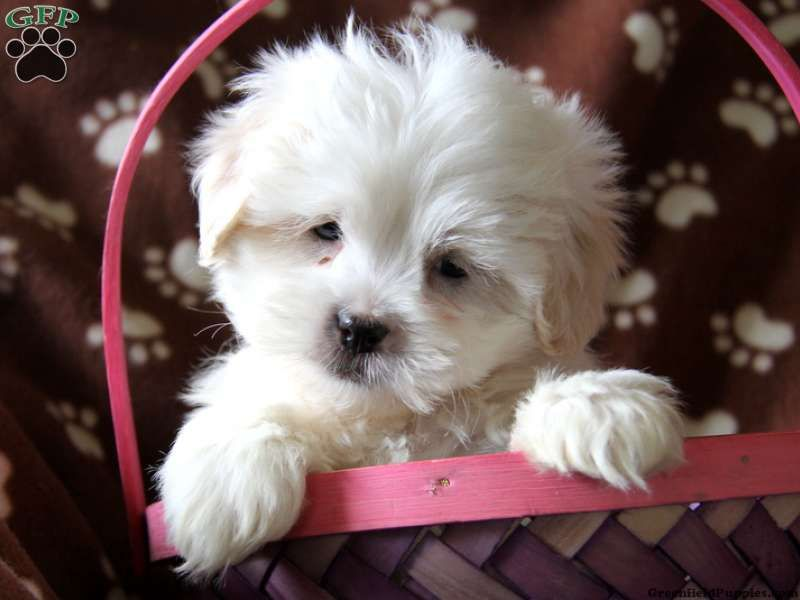 Tony, Lhasa-Poo puppy for sale from Kinzers, PA | Puppies ...