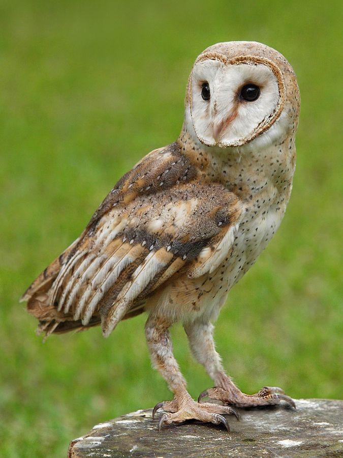 beautiful - looks like a barn owl ...  Photograph turn to right by Irawan Subingar on 500px