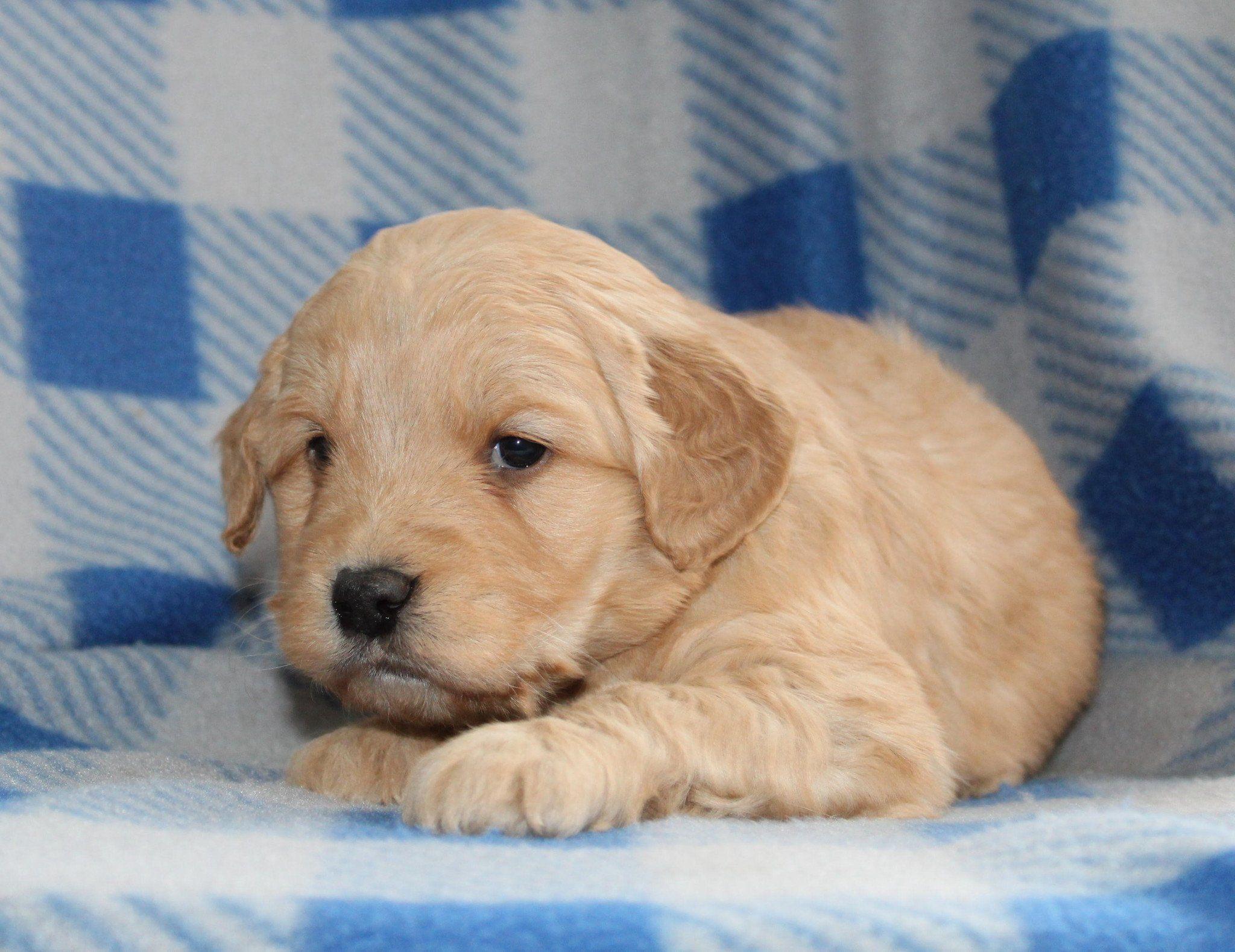 Miles Male Mini Goldendoodle Puppy Goldendoodle Puppy Mini Goldendoodle Puppies Miniature Goldendoodle Puppies