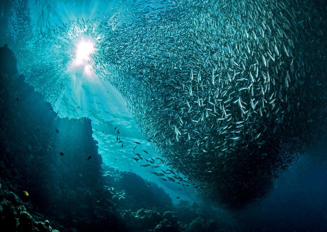 A big shoal of sardines is stirred and forms a vortex that looks to be sucked from the sun © Giacomo Marchione. All rights reserved.
