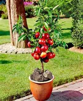 dwarf fruit trees in pots
