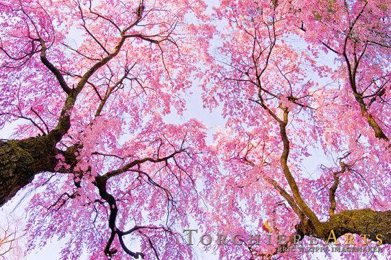 Sakura Tree Sakura Tree Sakura Flower Cherry Blossom Art