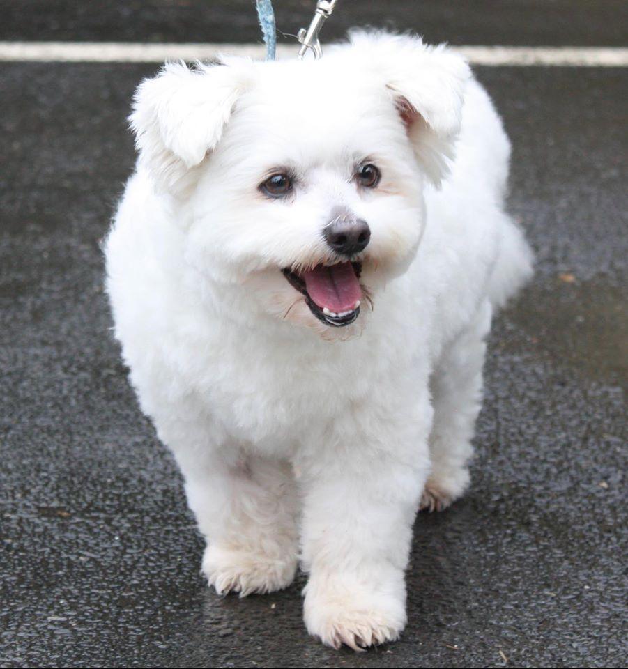 Japanese Spitz N Which Tzu Mix Cute Animals Pets