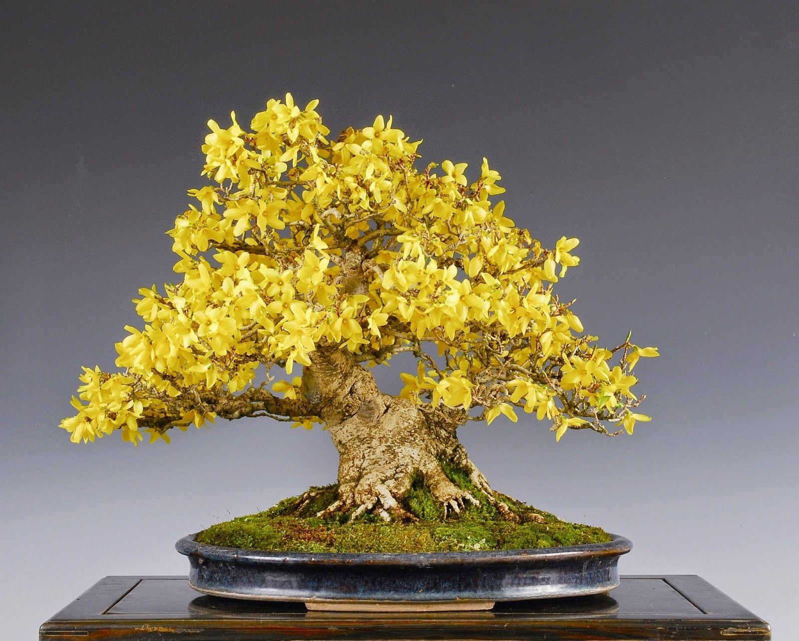 Bonsai jasm n de floraci n invernal c mo cultivar un - Como cultivar bonsai ...