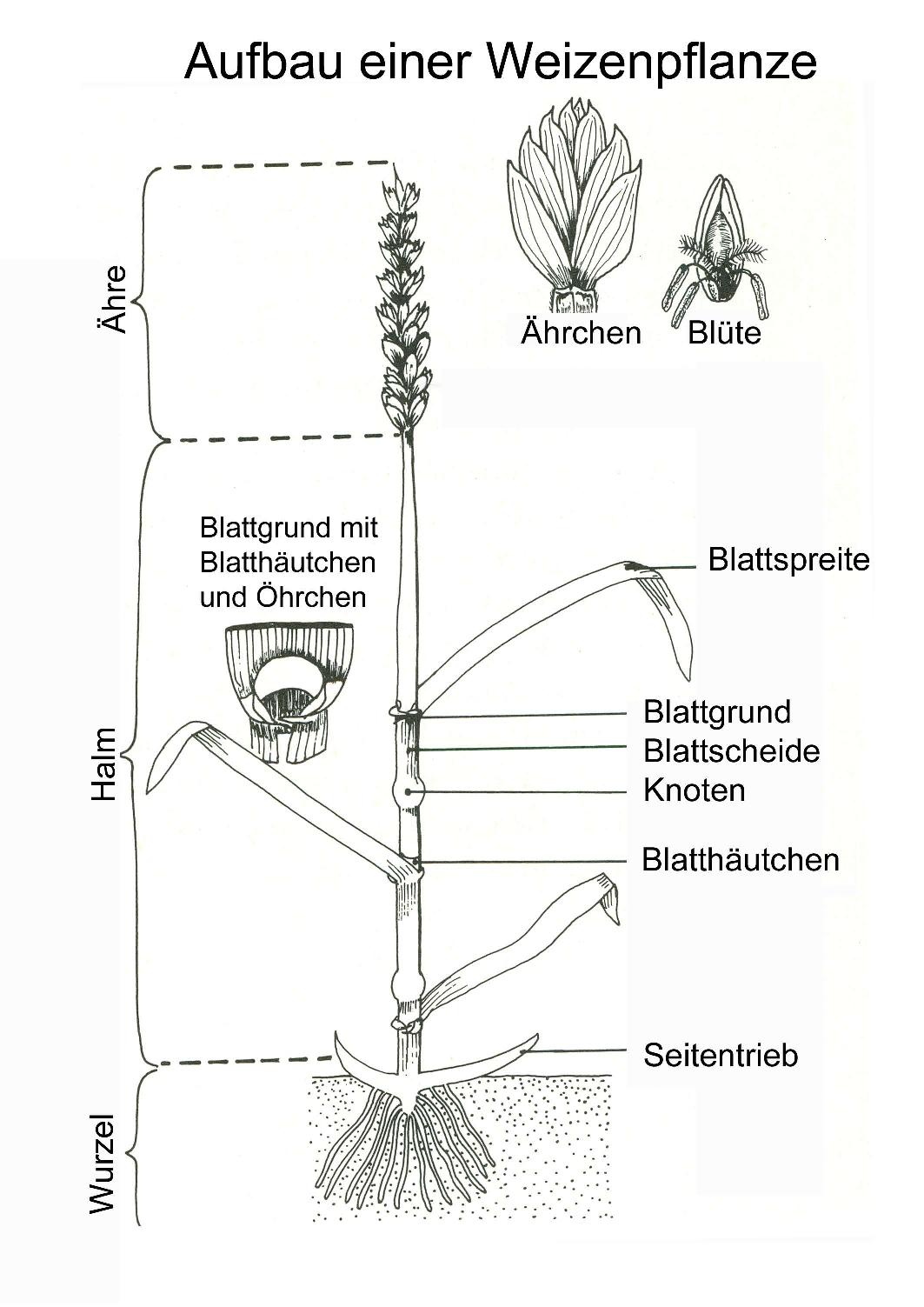 Aufbau einer Weizenpflanze – Unterrichtsmaterial im Fach Biologie ...