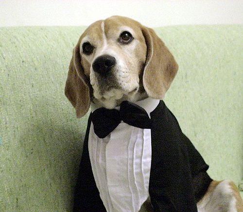 Beagle Beto Is Getting Married Tomorrow Beagle Dog Beagle