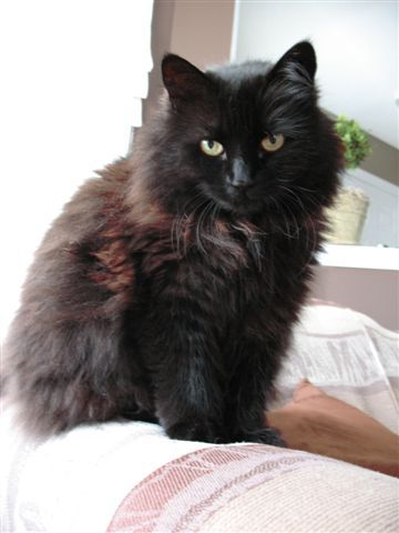 13  Most Popular Long Haired Cat Breeds | Cat, Black cats and ...