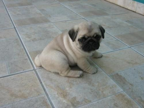 Pin On Pugs Pugs And More Pugs