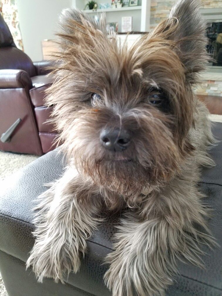 Pin By Dana Downing On Puppies Dogs Cairn Terrier Mix Terrier