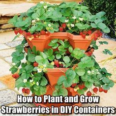 How to Plant and Grow Strawberries in DIY Containers #growingstrawberriesincontainers How to Plant and Grow Strawberries in DIY Containers FB #growingstrawberriesincontainers How to Plant and Grow Strawberries in DIY Containers #growingstrawberriesincontainers How to Plant and Grow Strawberries in DIY Containers FB #growingstrawberriesincontainers How to Plant and Grow Strawberries in DIY Containers #growingstrawberriesincontainers How to Plant and Grow Strawberries in DIY Containers FB #growing #growingstrawberriesincontainers