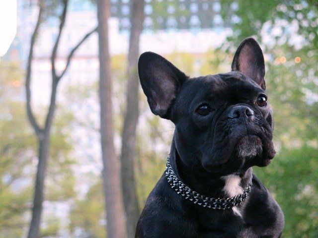 Constellation French Bulldog Four Legged Leather Lace