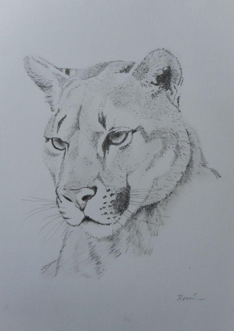 Disegno Di Una Puma Schizzo A Matita Chiaro Scuro Con Matita Disegni A Matita Disegni Disegni A Matita Facili