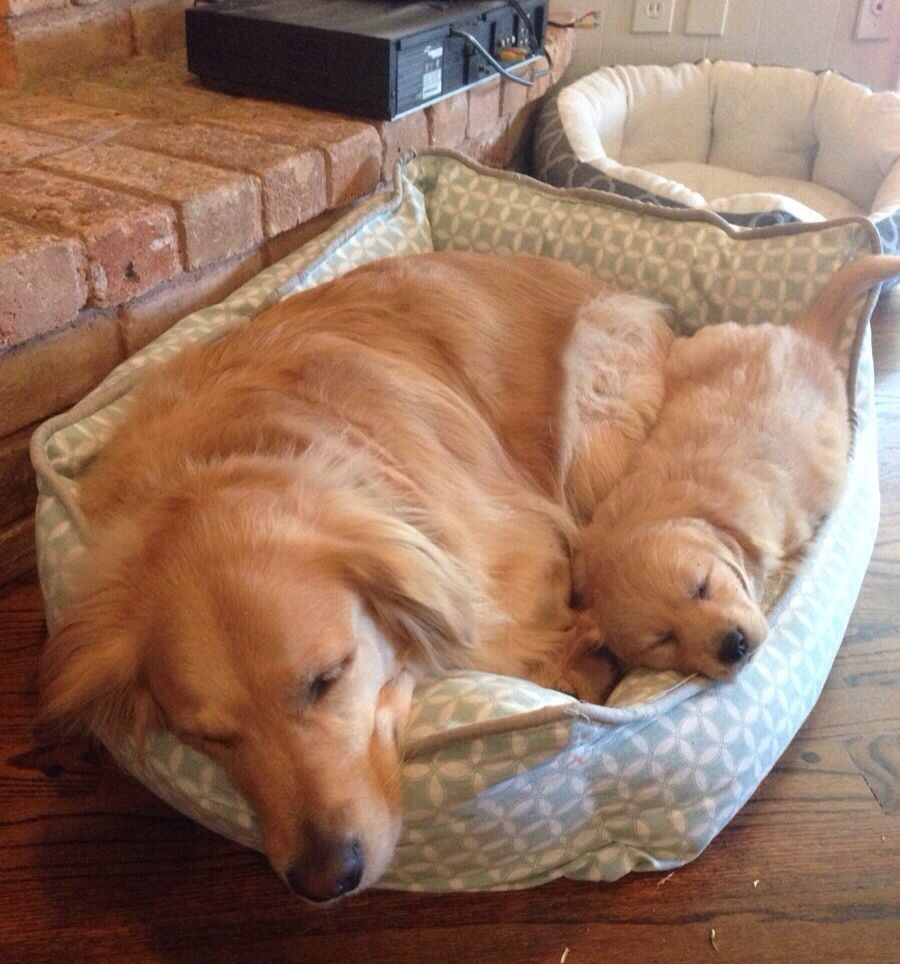 Don't need 2 beds..... Puppies, Retriever puppy, Cute