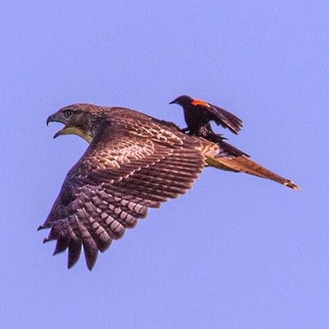 Rare Picture Blackbird Rides Hawk Red Tailed Hawk Animal