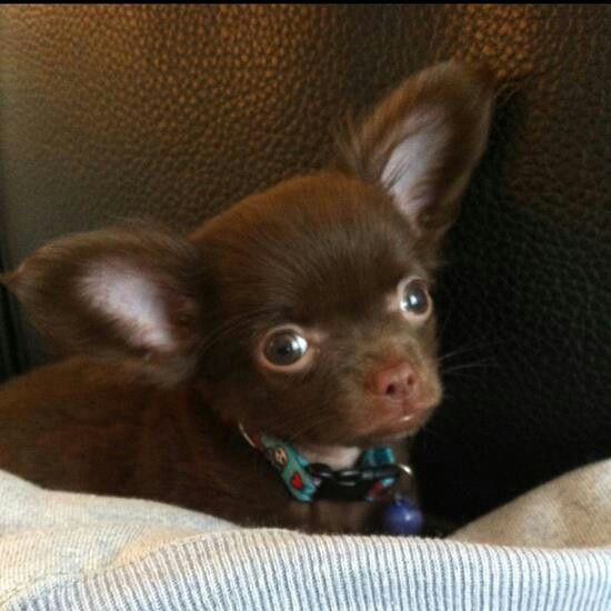 Love Chocolate Brown Chihuahuas Chihuahua Puppies Chihuahua Love Cute Chihuahua