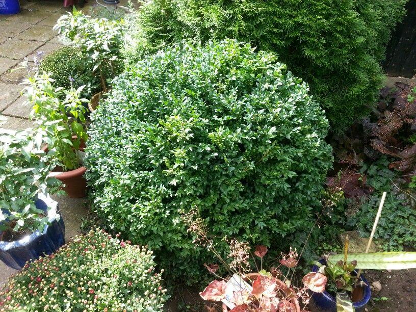 Kleine Buxkugel Gabys Garden Pinterest
