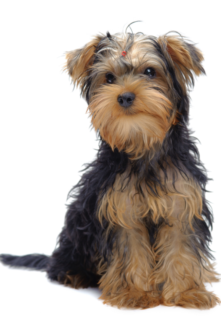 Portrait Of Sitting Puppy Of Yorkshire Terrier Isolated On White Yorkshireterrier Yorkshire Terrier Puppies Yorkshire Terrier Dog Yorkshire Terrier