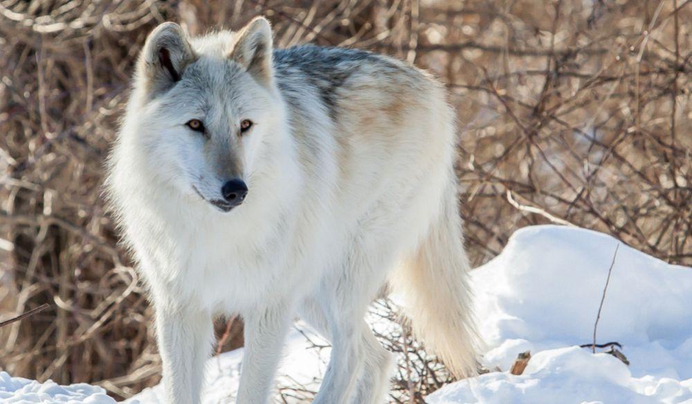 Grey Wolf Google Search Wolf Dog Eurasian Wolf Grey Wolf